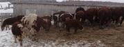 Продам быков, коров, лошадей,  овец живым весом